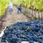 Polskie winiarstwo w dobie kryzysu – nowe kierunki rozwoju dla lokalnych winnic